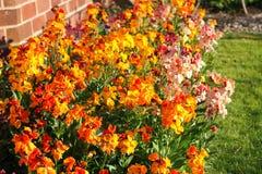 Wallflowers (Erysimum) Royalty Free Stock Photography