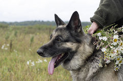 Walling In The Field. Female hand holding flowers and collar of the shepherd dog, concept of leisure activity Stock Photography
