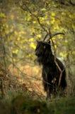 Walliser山羊 库存照片