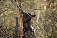 Walliser山羊 免版税库存图片