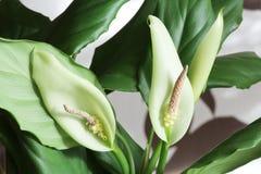 Wallisii de Spathiphyllum deux fleurs Photo libre de droits