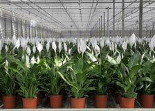 Wallisii di Spathiphyllum Immagini Stock Libere da Diritti
