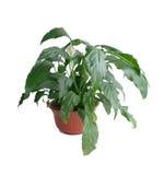 Wallisii van Spathiphyllum Stock Foto's