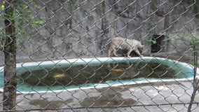 wallking在近金属滤网的4K Bengala白色老虎池塘后在动物园里 股票录像