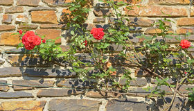 Walloon style of stonework wall. Of house with roses in sunny day royalty free stock photo
