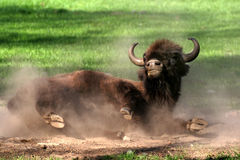 Wallowing Bison Royalty Free Stock Photo
