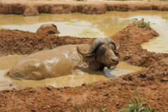Wallowing Cape Buffalo. An african cape buffalo relaxes in a mud wallow to escape the flies Royalty Free Stock Photo