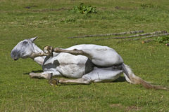 Wallowing horse Stock Photography