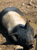 Wallowing in the Mud. A pig on the local farm enjoying life royalty free stock image