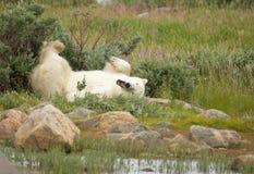 Wallowing niedźwiedź polarny 1 fotografia royalty free