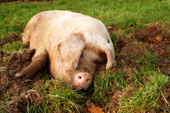 Wallowing Pig. In a farm field Stock Image