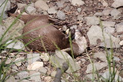 Wallowing small otter Royalty Free Stock Photography