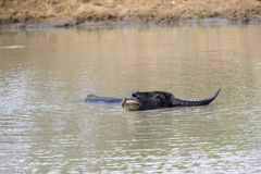 Wallowing water buffalo in a waterhole Royalty Free Stock Photos