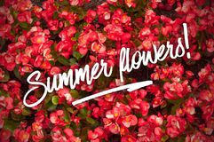 Wallpaper from ared begonia flowers. Greeting card with Summer flowers text on the begonia background royalty free stock image