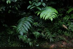 A wallpaper or background of lush jungle or tropical forest showing water and large leaves of a fern royalty free stock photography