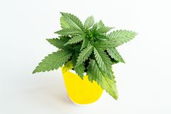 Wallpaper background medical marijuana seedling. Beautiful wallpaper background young marijuana seedling medical indica hybrid with green leaves in a pot on a royalty free stock photography