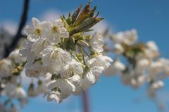 Photo of blooming cherry tree stock photography