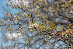 Photo of blooming pear tree stock photo