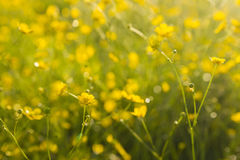 Wallpaper with buttercups Royalty Free Stock Photography