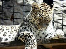 Wallpaper of closeup of wild leopard lying on a wooden board at the zoo, portrait of predator feline in a cage. Beautiful dangerous leopard lying on a wooden Royalty Free Stock Image