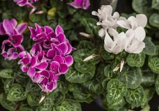 Wallpaper of colorful Cyclamen persicum flowers various color with green leafs. stock photo