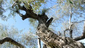 Wallpaper con el primer de la rama del olivo viejo en fondo azul claro del cielo fotos de archivo