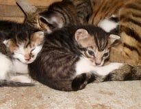 Wallpaper con el primer de un gato de la madre y de su dormir de los perritos imágenes de archivo libres de regalías