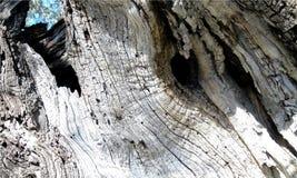 Wallpaper con el primer del tronco de olivo viejo en fondo azul claro del cielo imagen de archivo