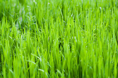 Wallpaper drop dew background grass  meadow nature lawn Royalty Free Stock Photography