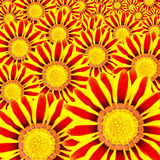 Wallpaper flower Gazania Royalty Free Stock Images
