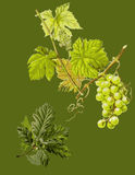 Wallpaper with grapewine. Stock Photos