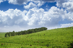 Wallpaper Landscape. A nature landscape image with cows and cloudy sky Stock Photos