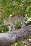 Wallpaper Online - Leopard Coming Down From Tree, Botswana Royalty Free Stock Photos