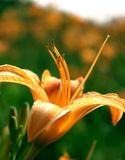 Lily flower wallpaper. Wallpaper of orange lily flower shining under sun Royalty Free Stock Photography