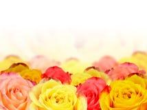 Wallpaper Roses Royalty Free Stock Photos