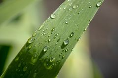 Wallpaper, water droplets on the leaves. Natural background, water and green leaves with morning dew after rain. Close-up. Wallpaper, water drops on the leaves stock photos