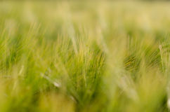 Wallpaper of wheat spikelets Royalty Free Stock Image