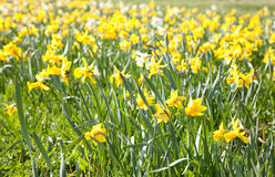 Wallpaper of yellow flowers Stock Photography