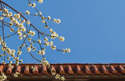 Walls of apricot flowers blooming Royalty Free Stock Photography