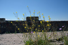 Walls of the fortress Erebinu, Yerevan, with the flowers in the Royalty Free Stock Photography