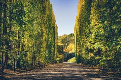 Walls of green trees in a fall season. royalty free stock image