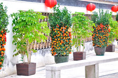 The walls and Kumquat. In Mandarin house macao.Side of the word for the Chinese poetic couplet Royalty Free Stock Photos