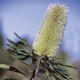 Wallum banksia. Native plant of Australia Stock Photography