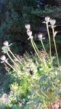 Walmo kwiatu ziarna są piękni Obrazy Stock