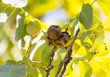 Walnüsse auf einem Baum Stockfotos