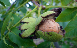 Walnuss auf Baum lizenzfreies stockfoto