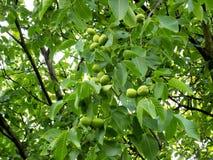 Walnuss-Baum Stockbilder