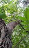 Walnuss-Baum Foto von unterhalb gemacht stockbilder