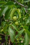 Walnuss-Baum Grow Aufwartung lizenzfreie stockfotografie