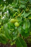 Walnuss-Baum Grow Aufwartung lizenzfreies stockfoto